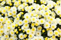 White and yellow chrysanthemum
