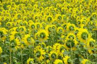 the backs of sunflowers