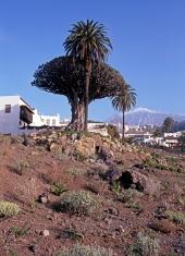 Dragon Tree, Tenerife.
