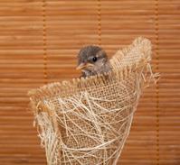 Nice little sparrow in a nest of jute