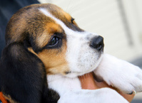 Portrait of cute Beagle puppy