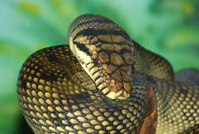Amethyst Python