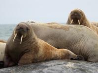 Arctic Walrus Svalbard Norway