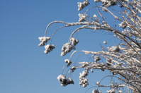 Snow on Crepe Myrtle