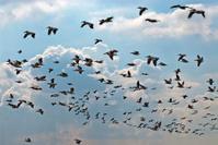 Pelican flock in mid air