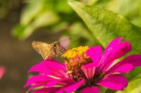 Butterfly feeding on Pink Straw flower