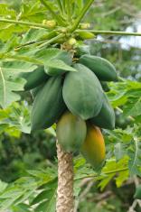 Papaya Shrub