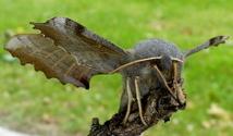 Poplar Hawkmoth on twig