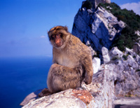 Monkey at Gibraltar cliff