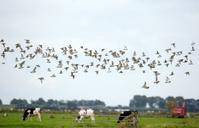 One flock off golden plover birds