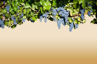 Grape Vine - Horizontal Header