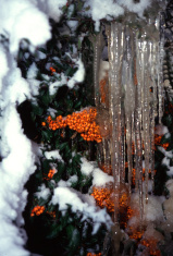 Icicles and berries