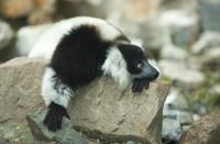 Ruffled Lemur on the rocks