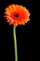 Orange pot marigold (calendula officinalis)