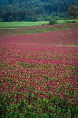 Purple clover field