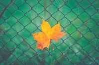 Orange colour leave on a fence