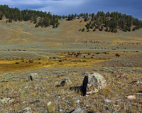 American Bison Herd near Blacktail Ponds