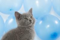 Cute kitten and blue balloons