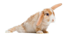 Satin Mini Lop rabbit in funny position, isolated on white