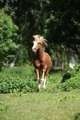 Chestnut welsh mountain pony stallion running
