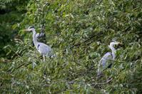Grey Herons in a tree