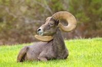 Bedded Desert Bighorn Ram
