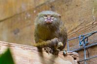 Eye contact with tiny monkey (uistitì pigmeo - Callithrix pygmae