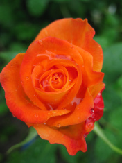 Orange flower rose.