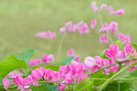 Pink Flowering Vine Series