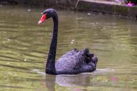 Feeding black swans