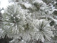 branch of pine in hoar-frost