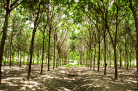 Para Rubber plantation, Thailand