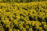 Backsides of Sunflowers