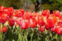 """Red Dutch tulip """"Tulipa"""" flower in closeup"""
