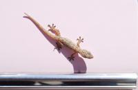 lizard .