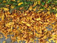 Autumn Leaves - Black Locust