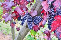 Nebbiolo vineyard