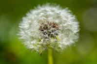 dandelion in grassy field and sun