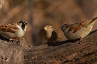 Sparrow convention
