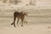 African cheetah staring forwards while walking in dessert open p