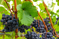 Red Wine Vineyard 3
