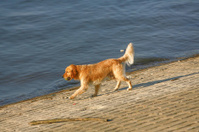 golden retriever by the river
