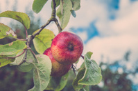 Fredrick apple