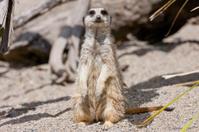 Meerkat's gaze