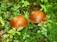 Birch mushrooms