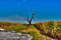 Lone Tree Cornfield