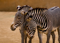 Zebra's touching