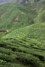 Tea Plantation 5