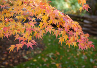 Delicate Maple leaves