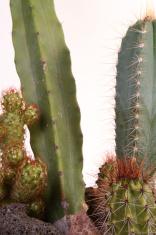 Cactus garden closeup